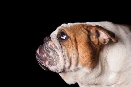 Hundezüchterhaftung Bei Genetischen Defekten Kanzlei Sbeaucamp