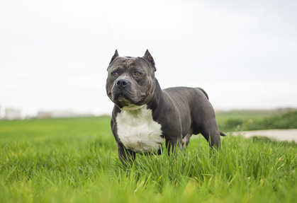 3 Different Styles Of Ear Crop For Your American Bully American Bully University Pitbull Puppies Protective Dogs Pitbulls